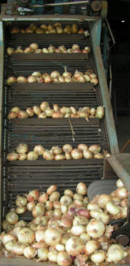 Onion Conveyor