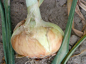 Vidalia Onions for sale Online